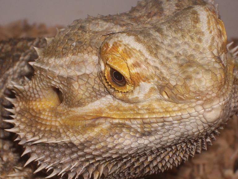 Bearded Dragon Care Sheet (2020) Bearded dragon care