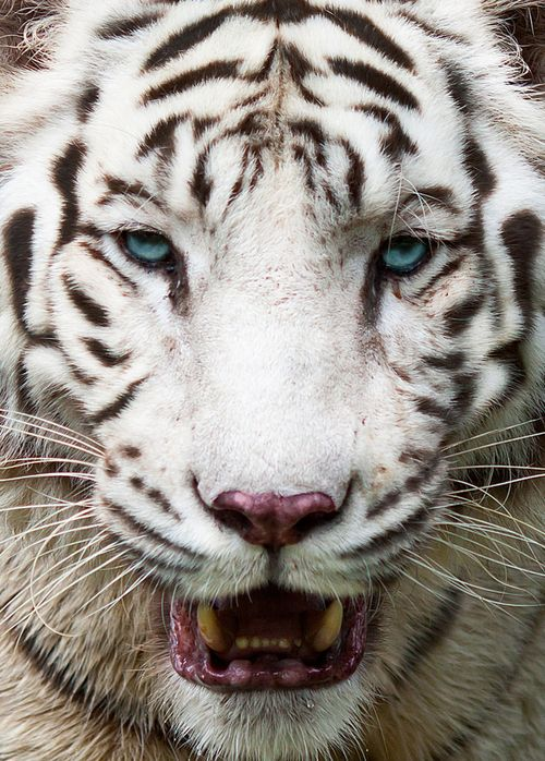 Although white tigers are extremely beautiful animals, they serve no conservation purpose, with the exception of increasing attendance to zoos. Thus increasing public awareness and education of the plight of all endangered animals. For this reason, the SSP (Species Survival Plan) coordinators for the various surviving subspecies of tiger do not authorize breeding the white tiger in their managed programs.