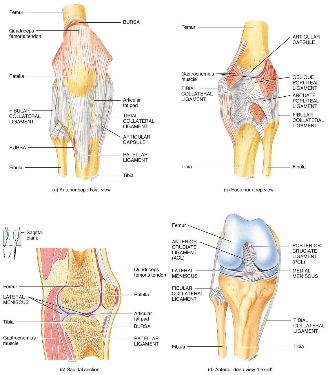 Anatomy of the knee pinterest anatomy physical knee anatomy ligaments and tendons knee joint pooptronica Gallery