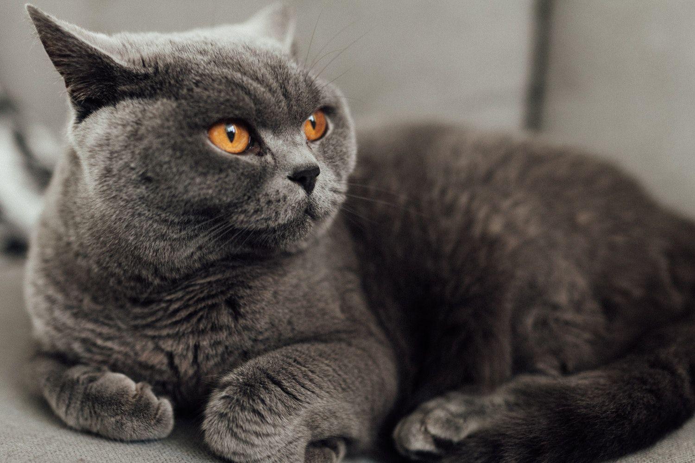 British Shorthair The Cheshire Cat Cat Breeds British Shorthair Cats Cutest Cat Breeds
