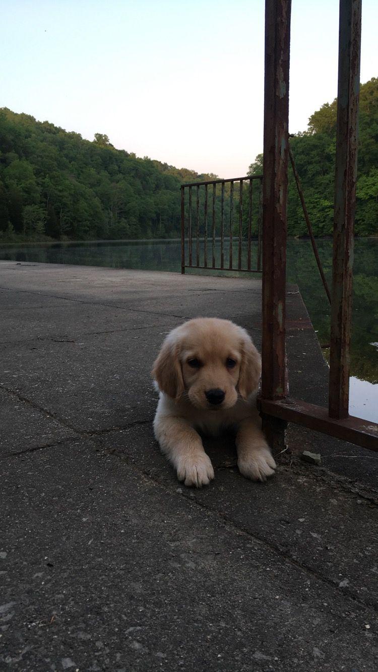 Finn The Golden Retriever Dogs Golden Retriever Golden