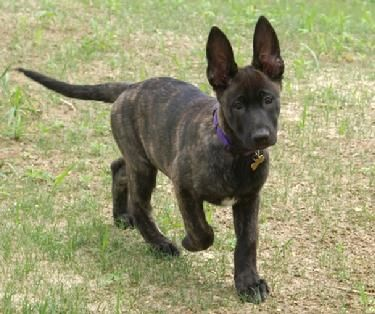 Dutch Shepherd What Kona Looked Like As A Puppyyep Had To