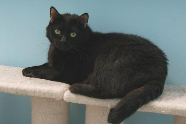Adopt Coco On With Images Cat Adoption Black Cat Beautiful Cats