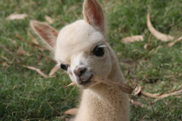 Baby Alpaca Baby Alpaca Baby Skunks Alpaca