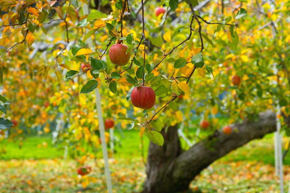 Permaculture: Seven Parts Of An Apple Tree Guild      An Expert Guild