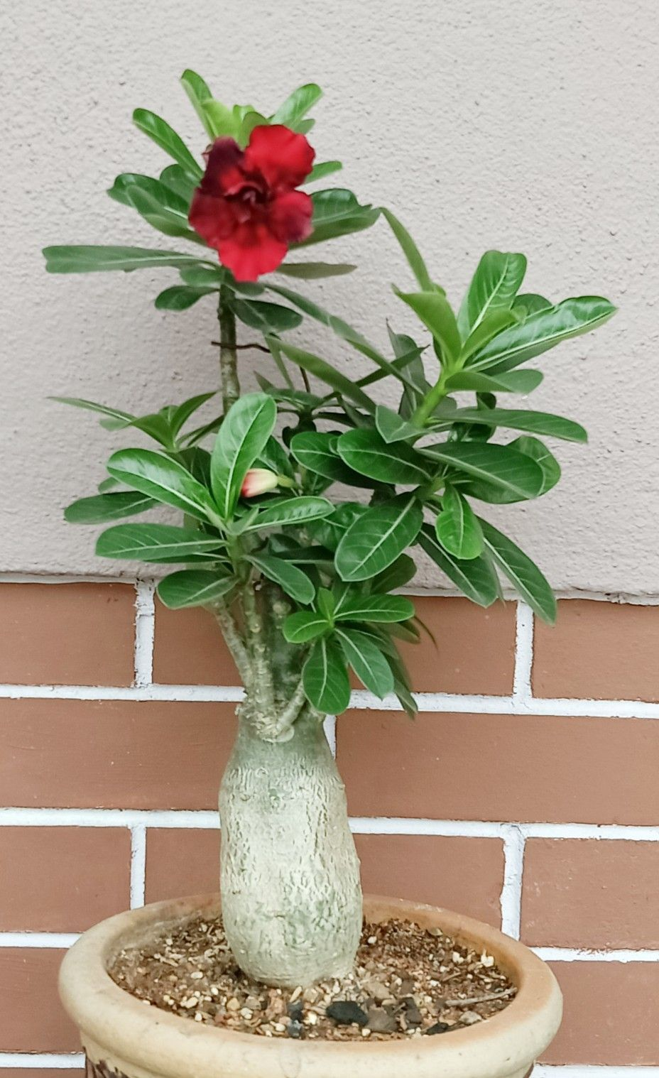 Pin by Ley Hong on 美 Desert rose, Plants, Rose