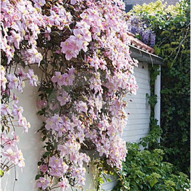 White Brick Baldwin Park S Design: White Clematis On A Brick Wall#Repin By:Pinterest++ For