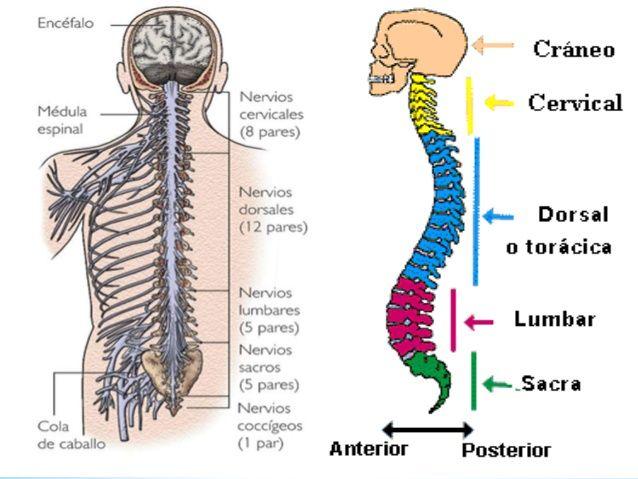 Sistema Nervioso Periférico: Partes y Funciones (con Imágenes ...