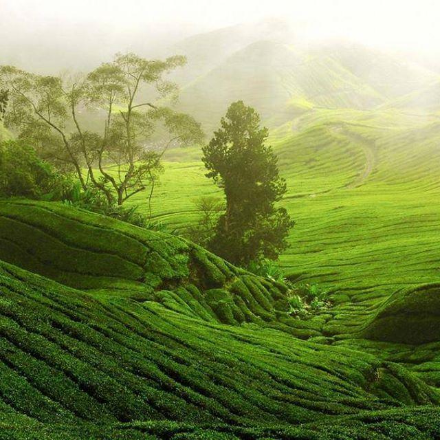 выращивание чая в мире