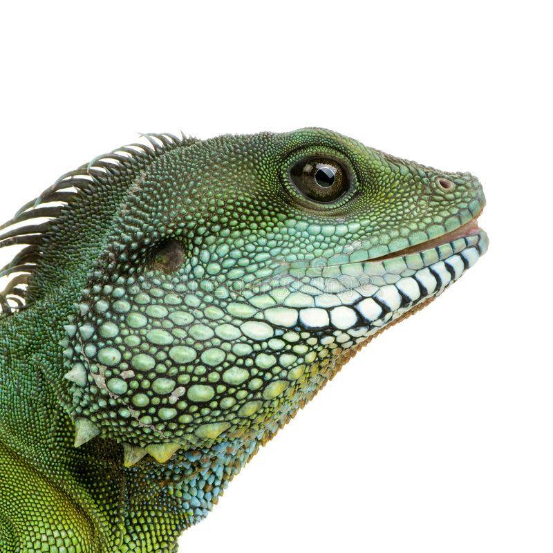 Indian Water Dragon Physignathus cocincinus. Bearded