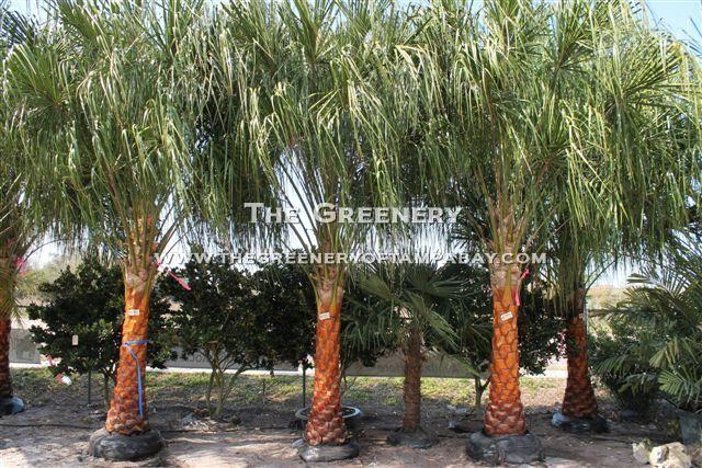 Ribbon Palms Ribbon Palm Florida Gardening Garden
