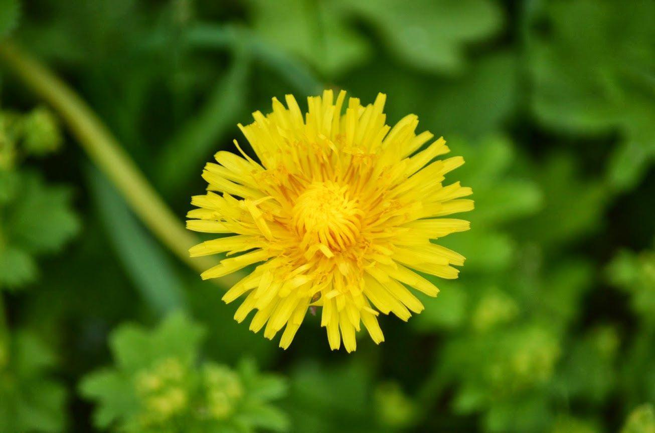 Dandelion by http://tonnyfroyen.com/  #flowers #botanical #nature #flora #flowermagic #flower #norway #flowerstalking #floweroftheday  #plants #instaflower #natureaddict #blomst #view #macro #flowersofinstagram #image #flowerslovers #flowerstagram #flora #bloom #rbnett #blomster #naturelovers #norge #flowerporn #molde #garden #bloom #blossom #flowerpower