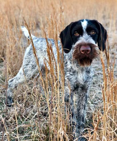 German Wirehaired Pointer Reece German wirehaired