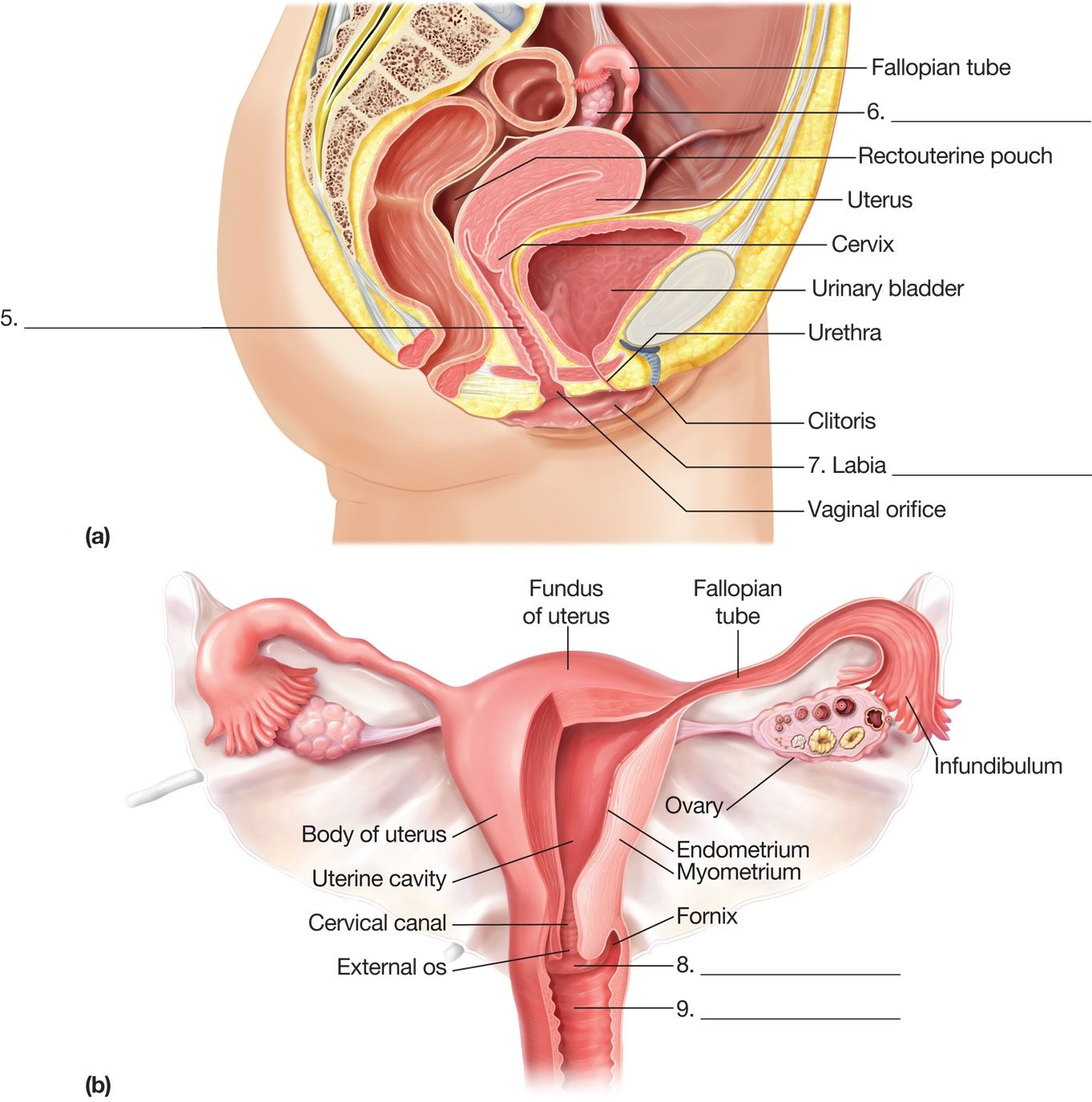 Anatomy Of Reproductive System Anatomy Female Reproductive System ...
