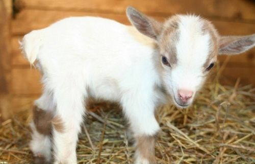 Very Cute Pygmy Goats That Look Like Scarlett Johansson In