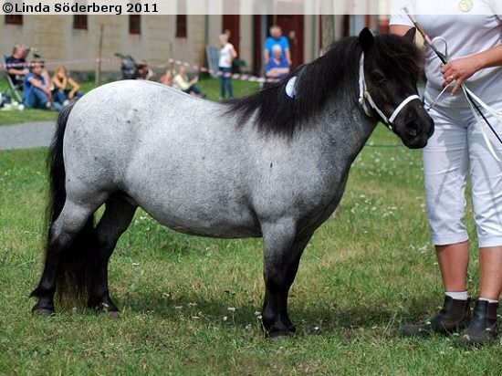 Seva Infanta 1170 Sh Shetland Pony Beautiful Horses Animals Beautiful