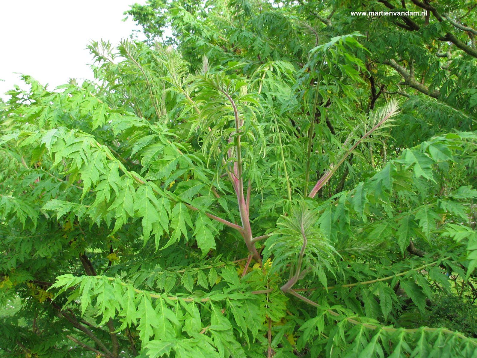 fluweelboom giftig