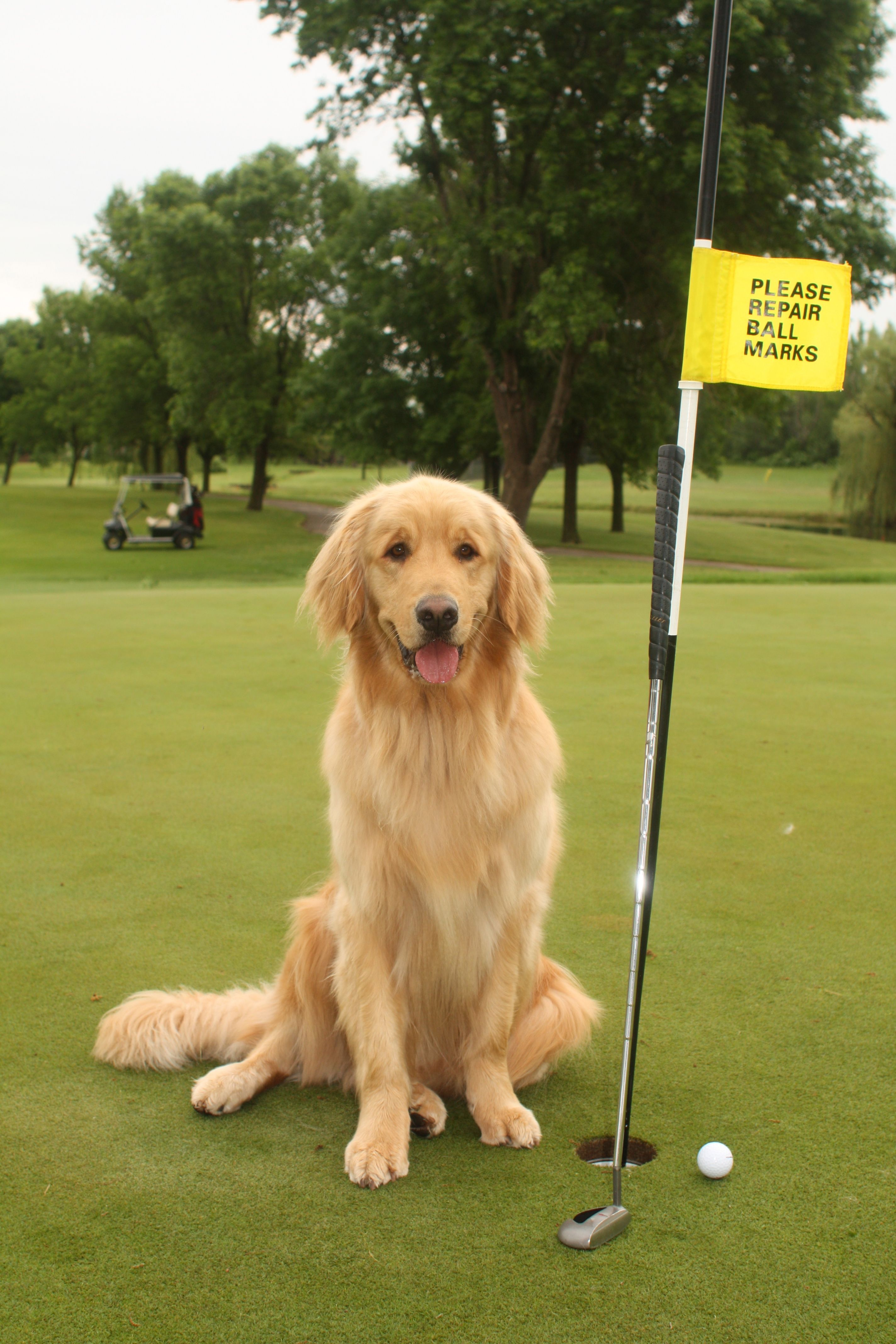 Finn My Trusty Golden Caddy With Images Dog Love Cute Dogs