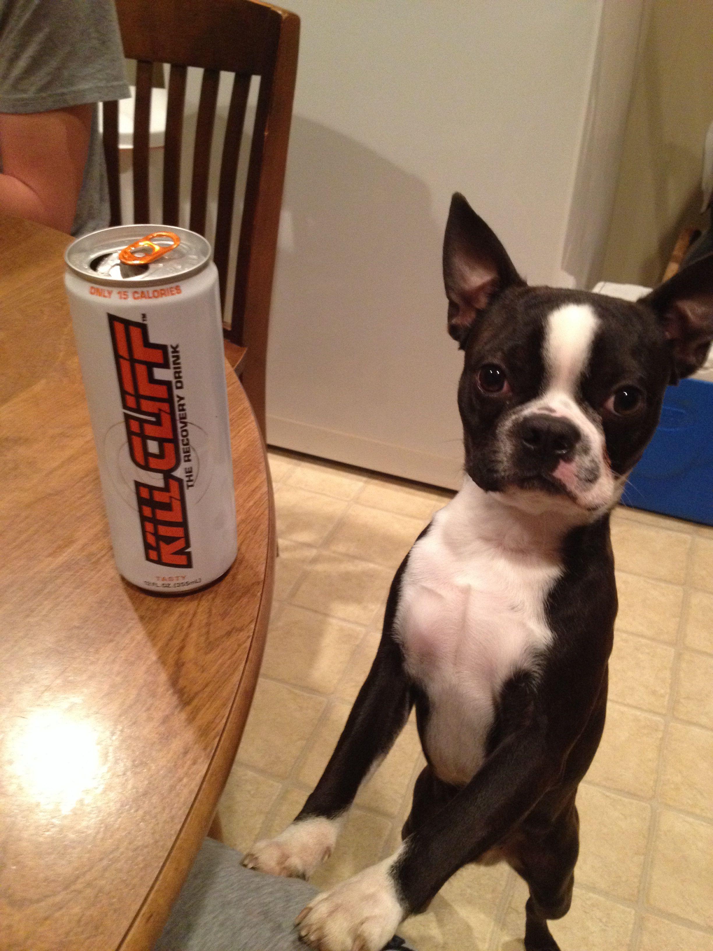 nate wants some of the tasty killcliff boston terrier terrier pup pinterest