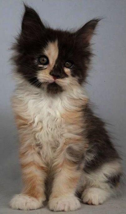 Fantastic Beautiful Cats For Sale In Pakistan Xo Cute Cats Kittens Cats Cats Kittens
