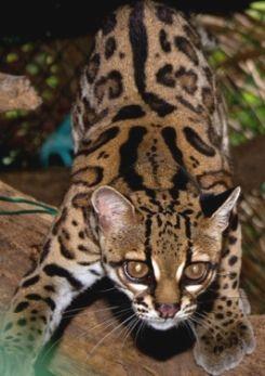 Rare Cat Breeds   Responsible Pet Ownership Blog: The ...