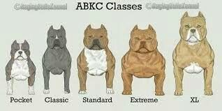 American Bully Kennel Club Classes Bully Breeds Dogs Bully Dog Pitbull Terrier