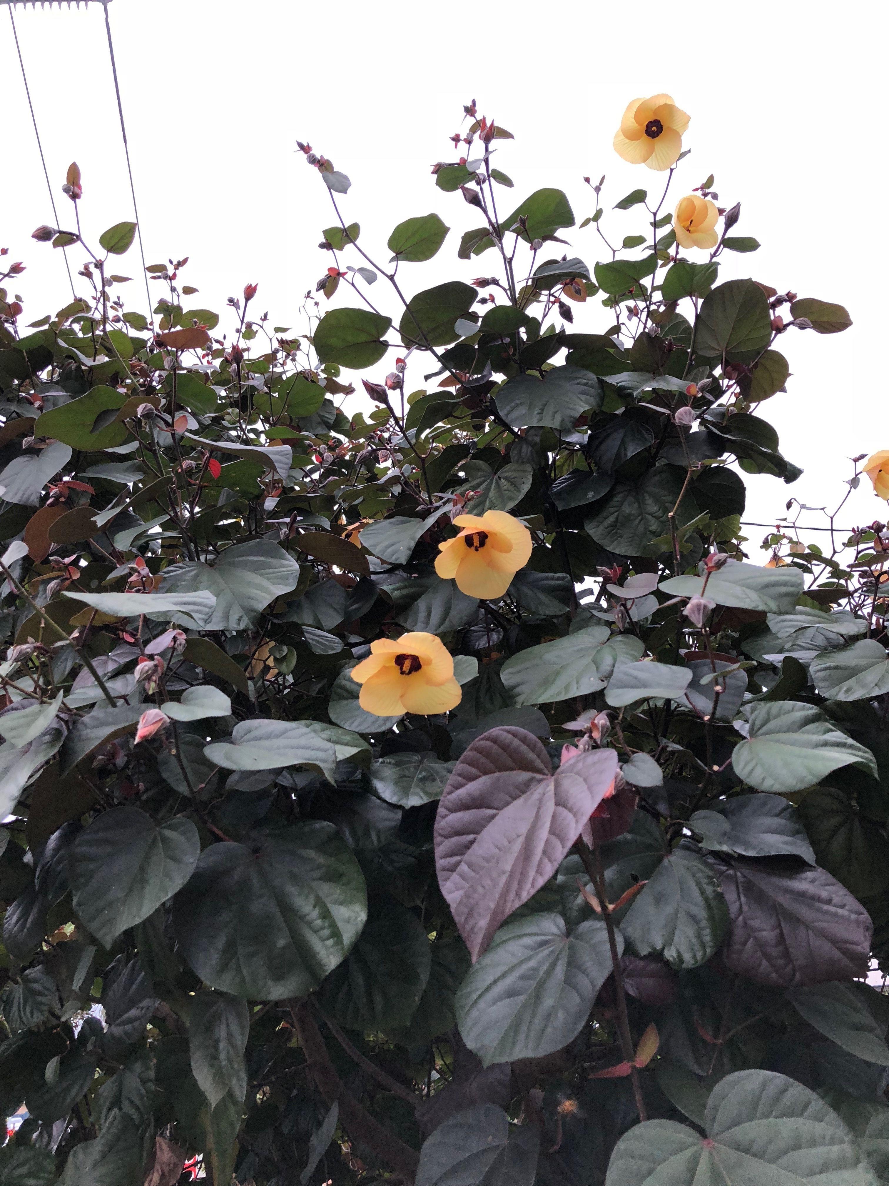 Hibiscus Tiliaceus Rubra Red Cottonwood Hibiscus Flowering Perth