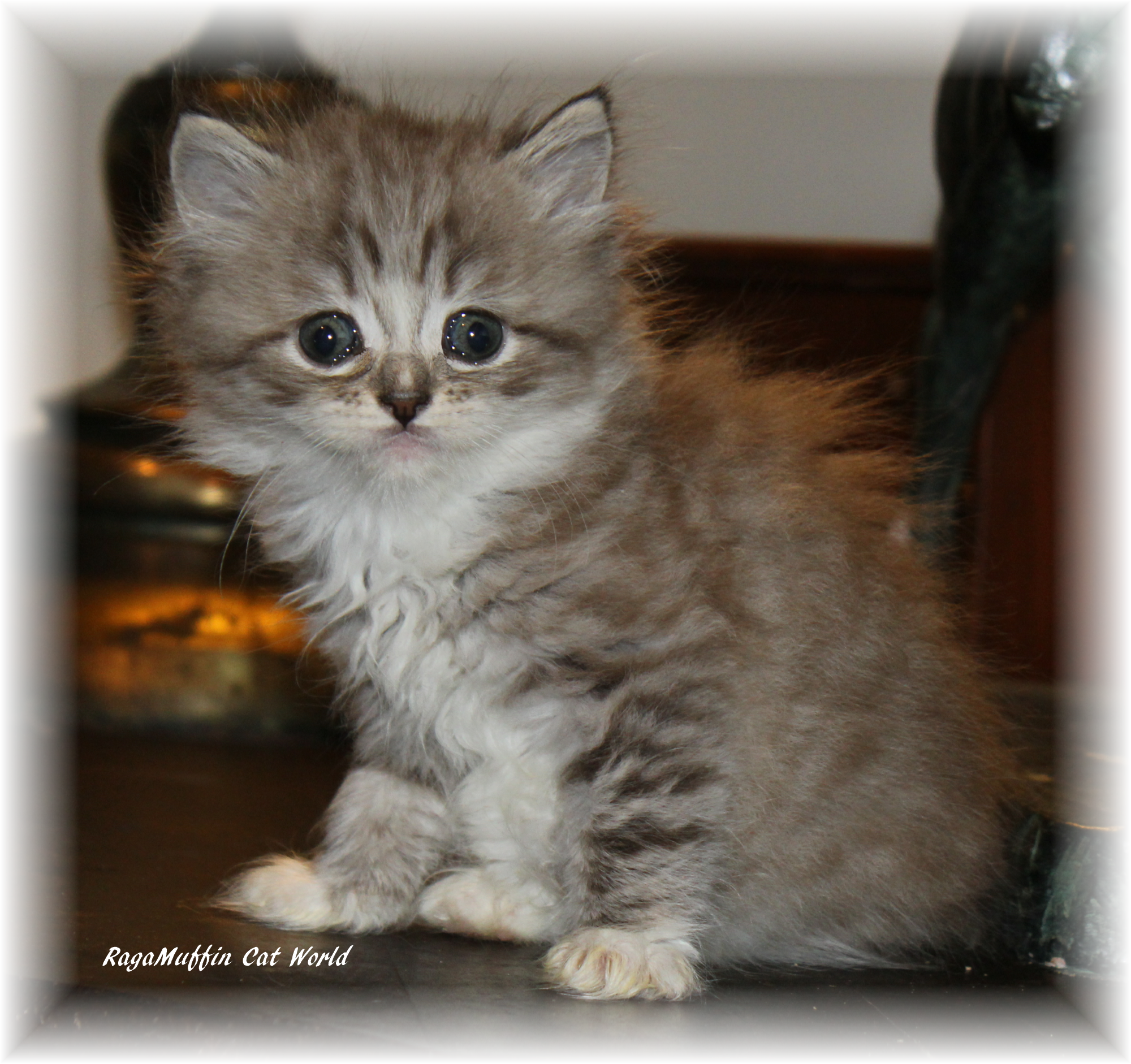 Ragamuffin Cat World S Anna Female From The L Il Life Is Good Litter Ragamuffin Kitten For Adoptionl D Ragamuffin Cat Ragamuffin Kittens Kitten Adoption