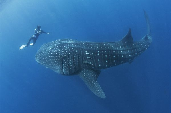 A free-diving photographer encounters the world's largest fish, a giant whale shark, off of the coast of Mexico.
