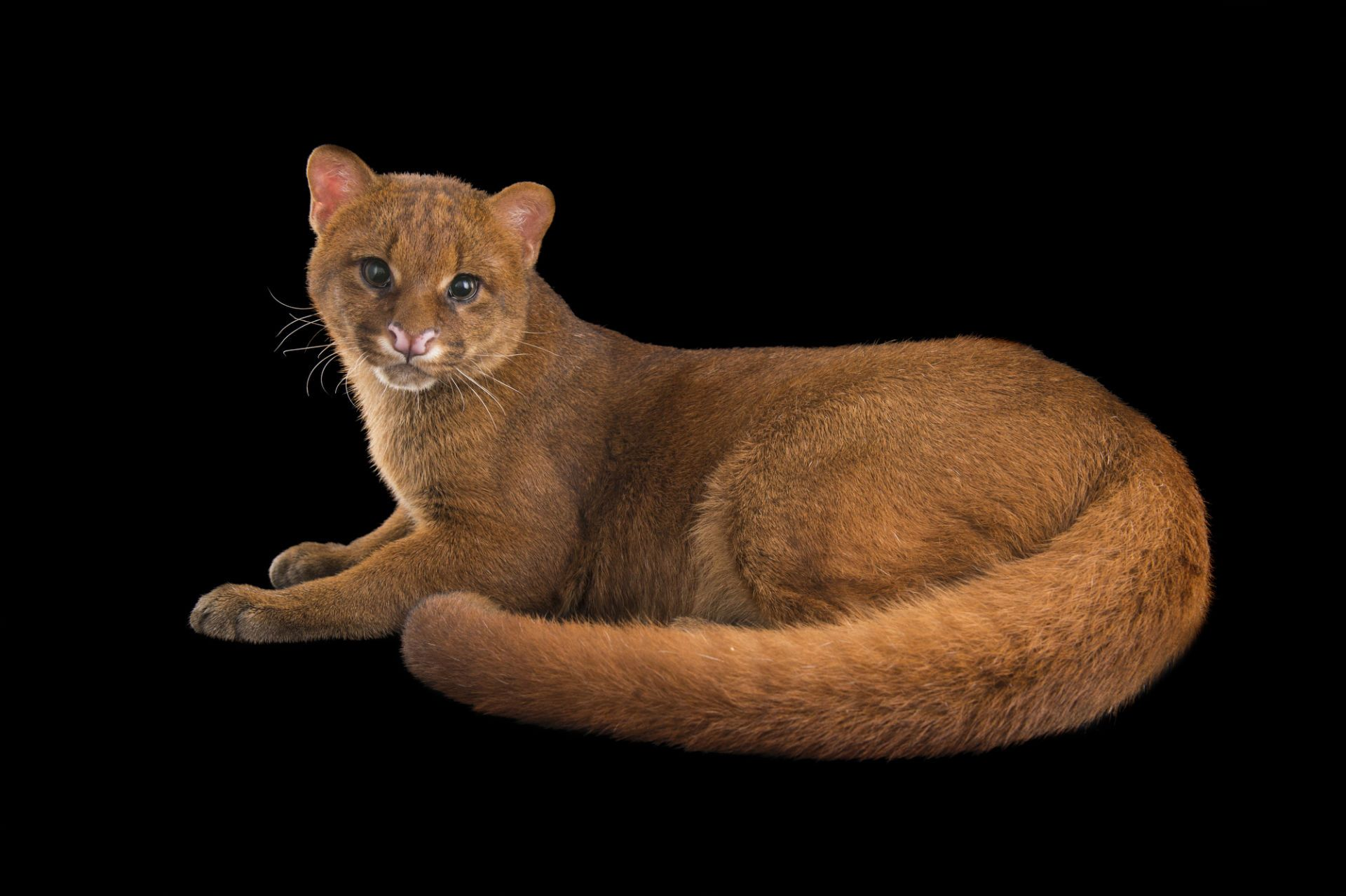 ANI01900285 Wild cats, Noahs ark animals