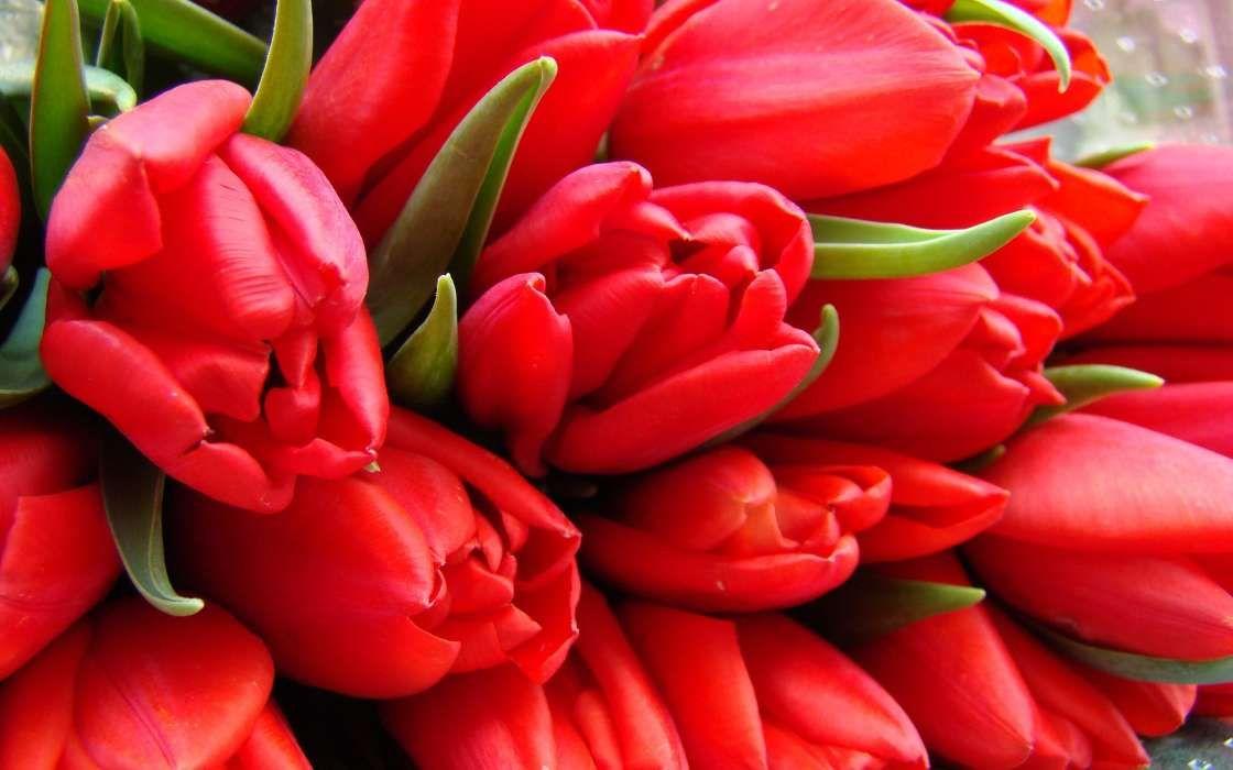 Baixar A Imagem Para Telefone Flores Tulipas Imagens Gratis