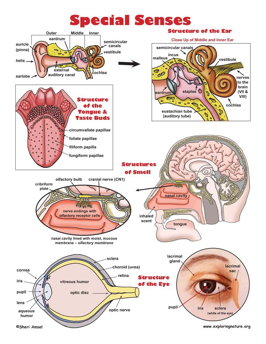 Special Senses Test Bank | Special Senses Illustrated | Anatomy ...