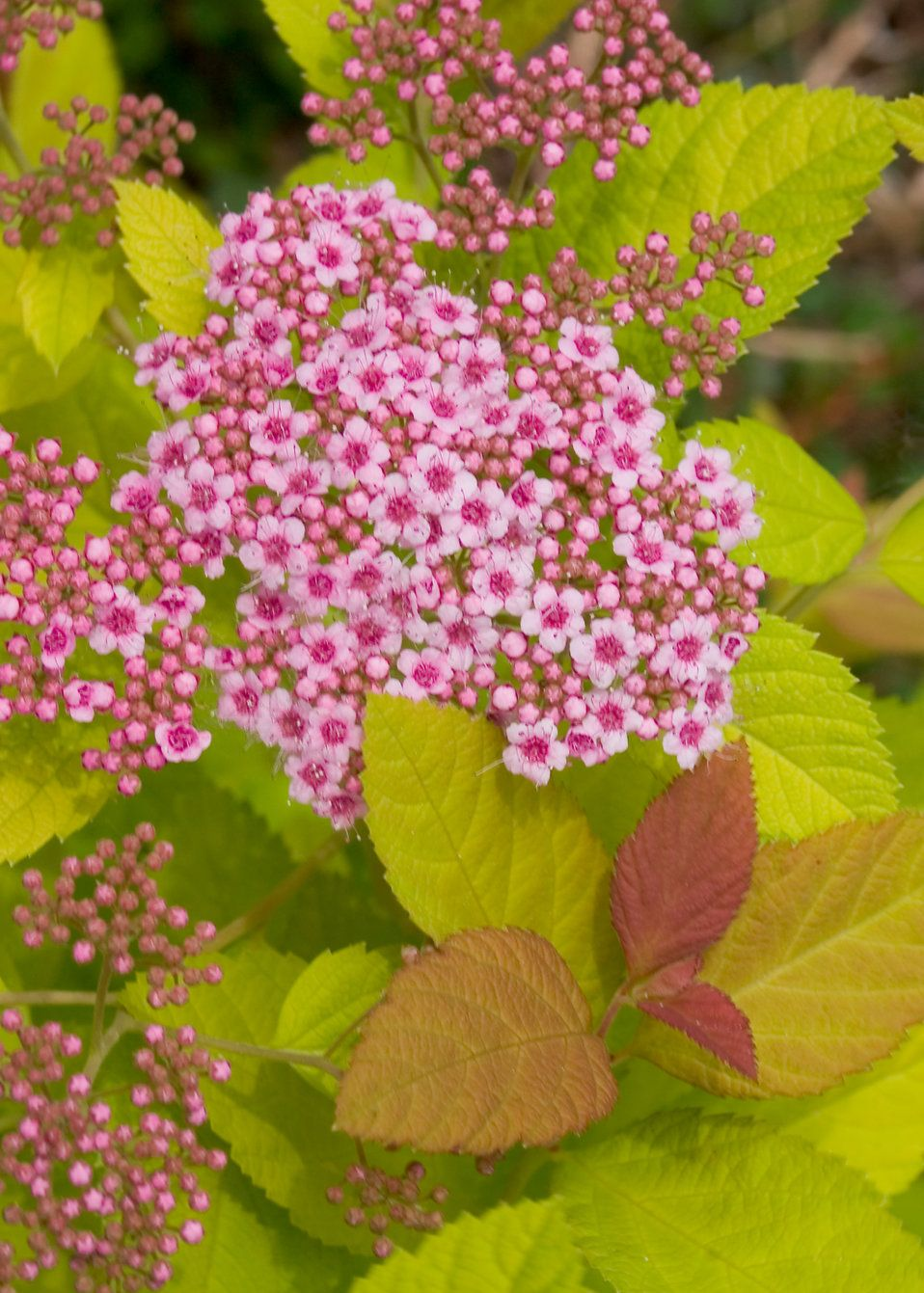 Double Play Big Bang Spirea Spiraea X Garden Pinterest