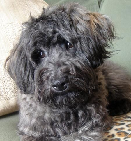 Pepper The Schnoodle A Schnauzer Poodle Mix Schnoodle Dog