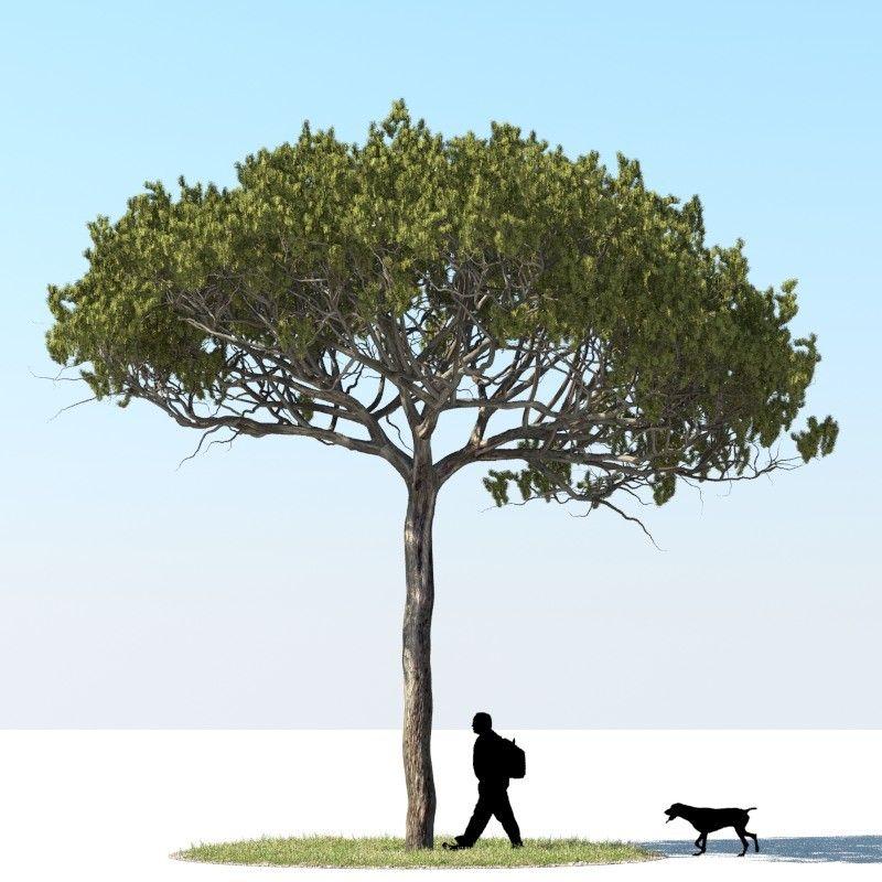 Realistic Stone Pine Obj - 3D Model Tree Pinterest Pine