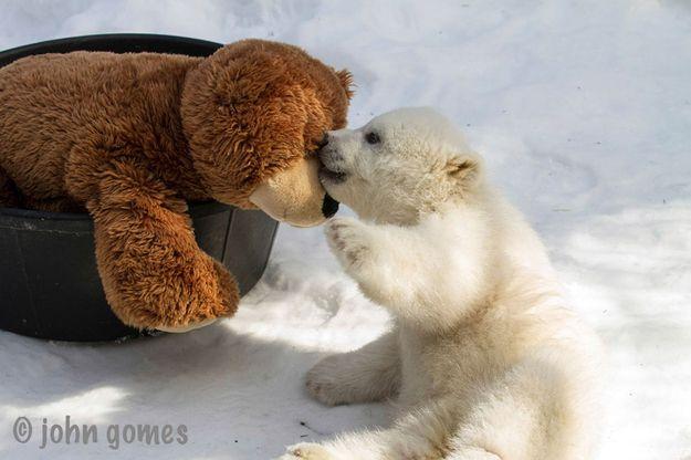 Kali And His Teddy Baby Polar Bears Cute Baby Animals Polar Bear