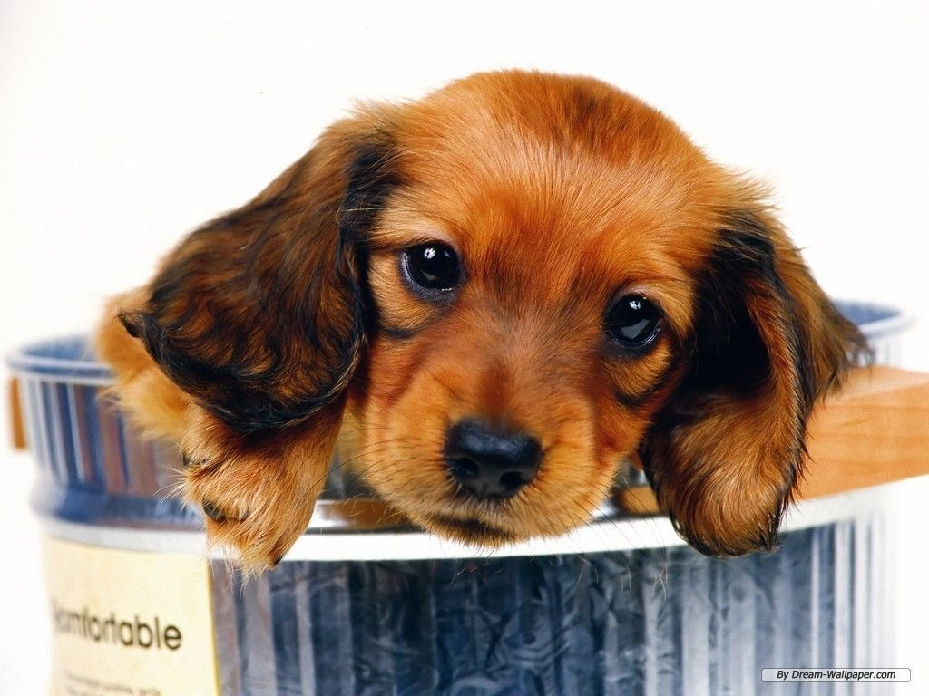 Miniature Daschund Reasons I Work From Home To Get One Of