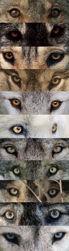 source: WOLVES tumblr... Wolves eyes can have colors ranging from grey, green, yellow, amber, orange and brown. This is the chart