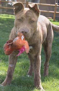 Heeler Shepherd Mix Puppy For Adoption In Bend Oregon Puppy