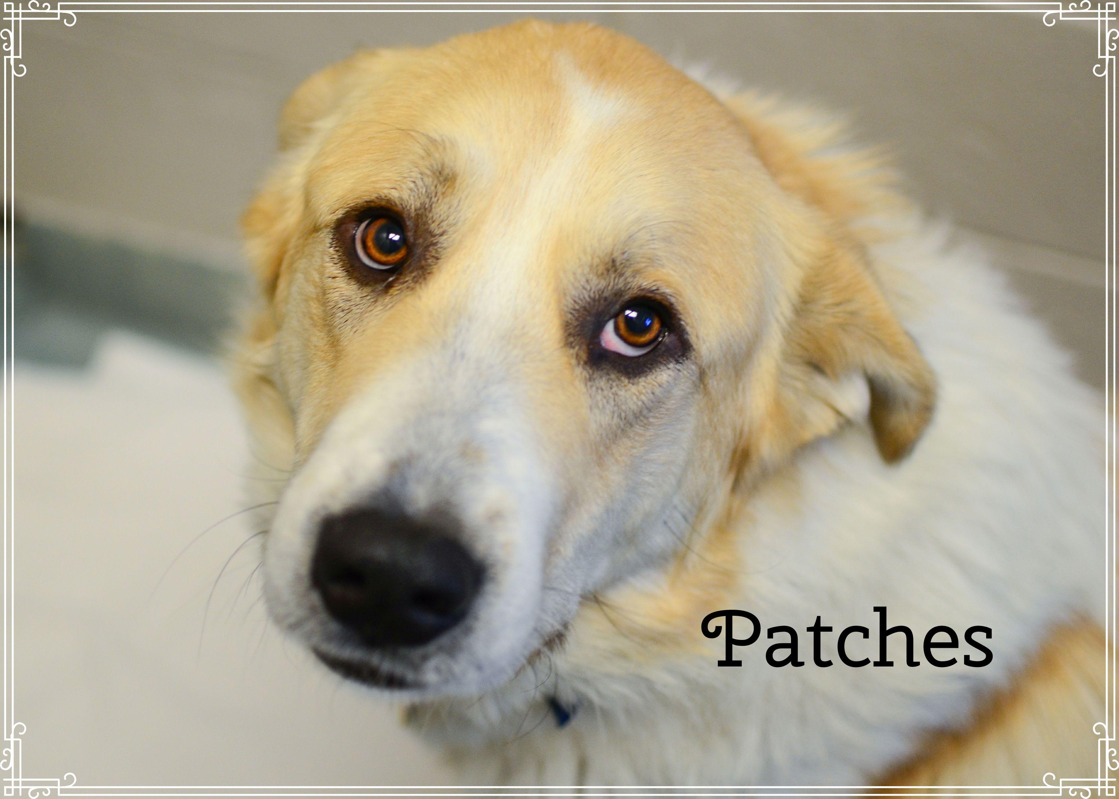 Golden Pyrenees dog for Adoption in Peyton, CO. ADN753331
