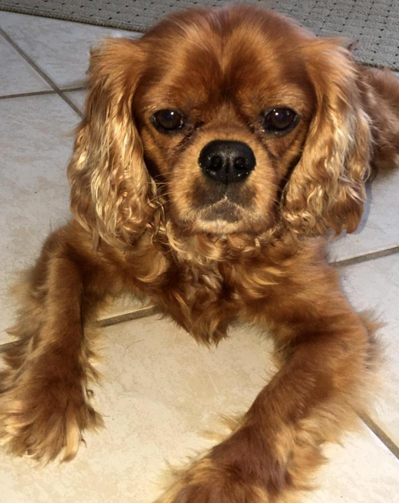 Adopt Oliver St Petersburg Fl On Petfinder King Charles Spaniel Cavalier King Charles Cavalier King Charles Spaniel