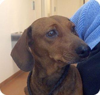 Lindon Ut Dachshund Meet Sadie A9 A Dog For Adoption Http