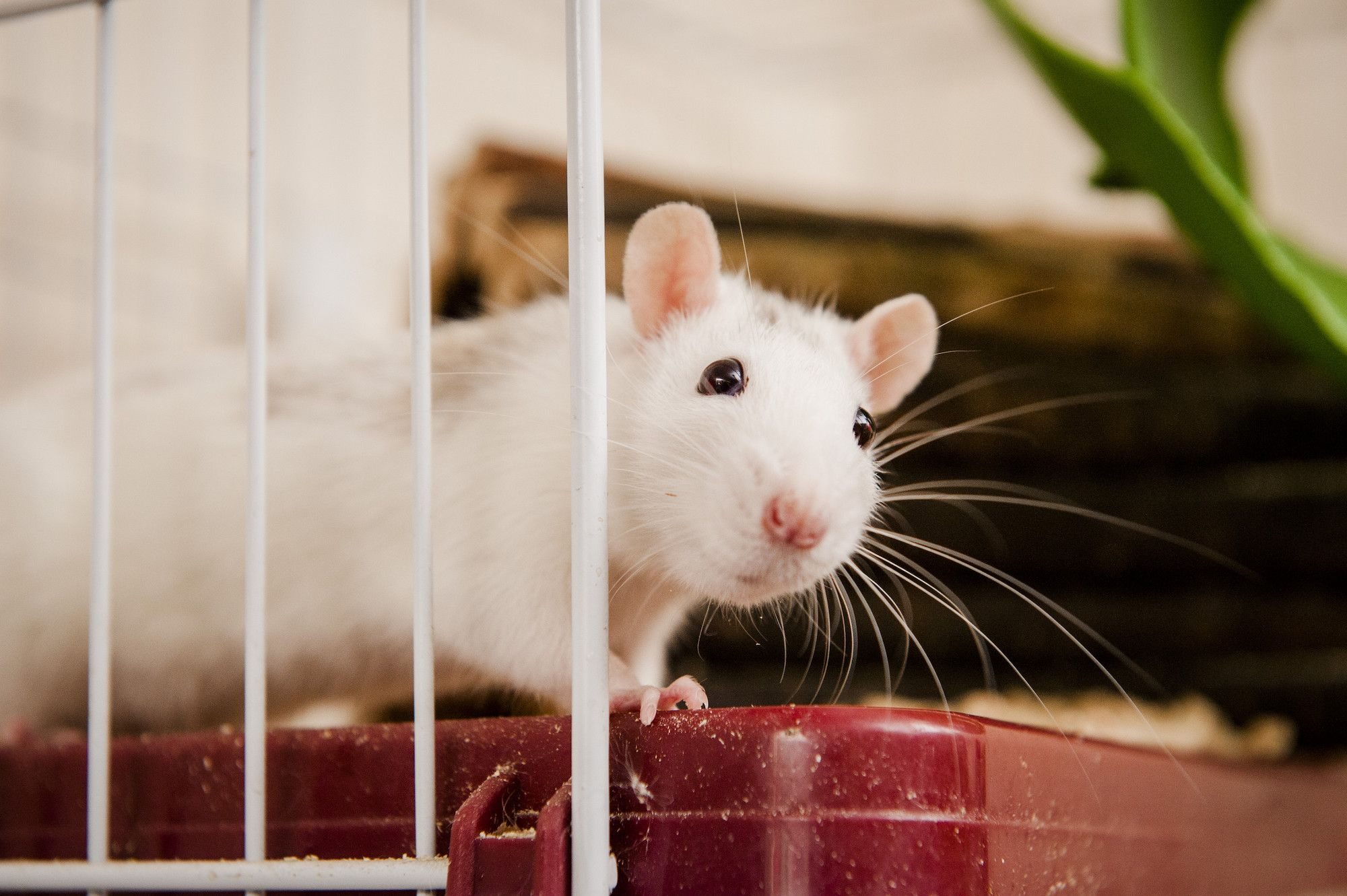 Caring For Your Pet Rat Animals For Kids Best Pets For Kids