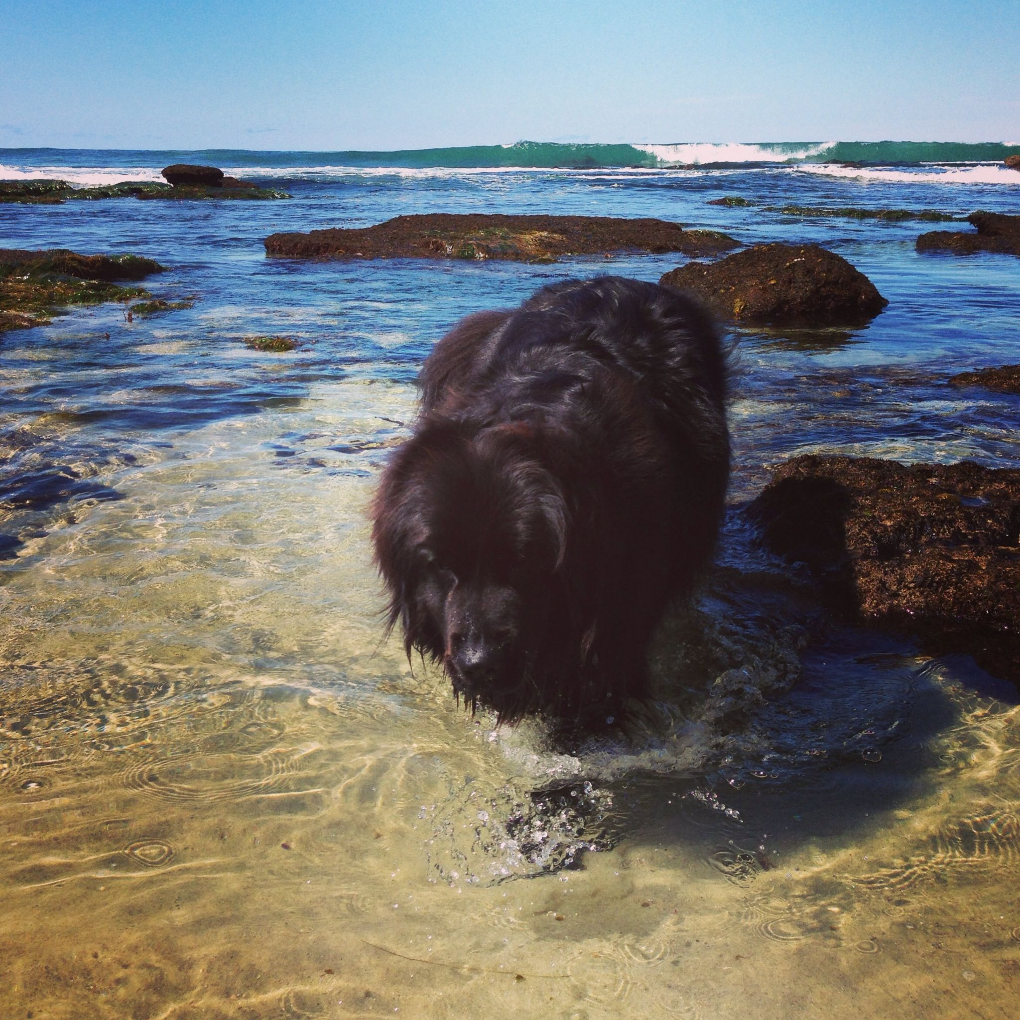 Beach Bear Cub Newfie