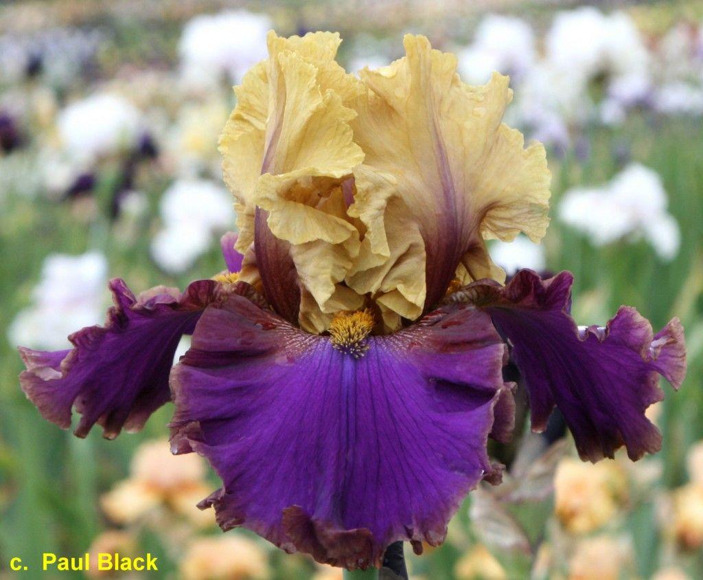 Superstition Iris Gardens Catheys Valley Ca