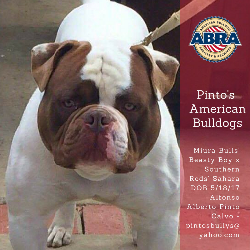 Pin On American Bulldogs