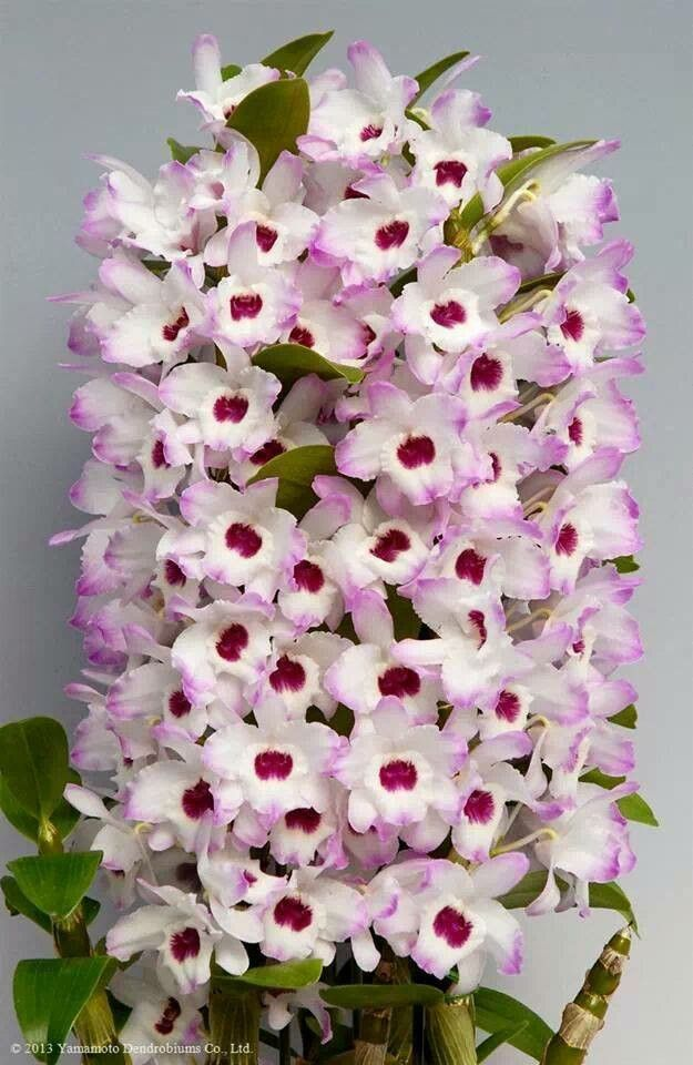 Orchid Dendrobium Awesome Flores Exoticas Orquideas