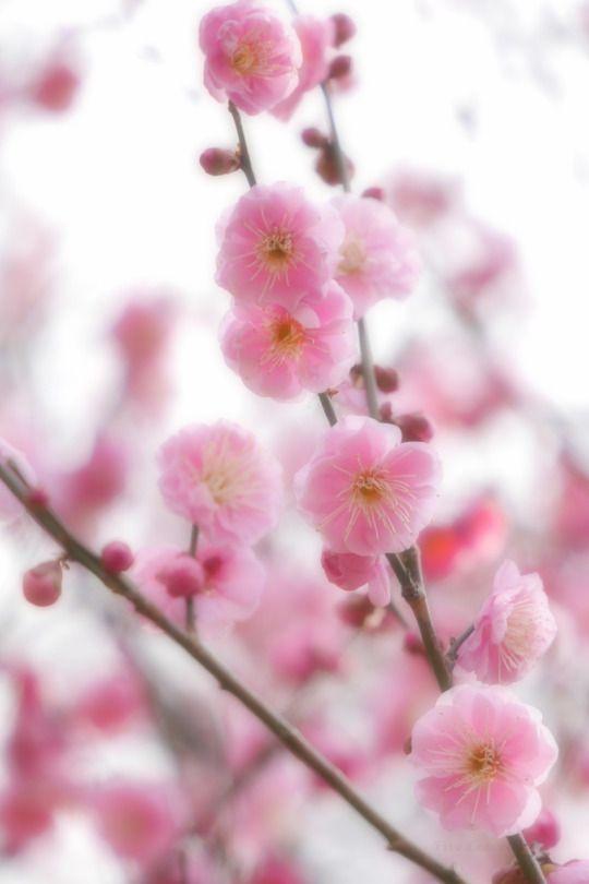 Ume blossoms / Japanese apricot 'Mikaiko'