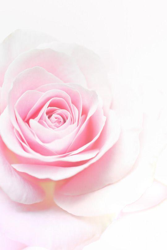 Loggardenia Pink Flowers Background Pink Wallpaper Iphone Rose Wallpaper