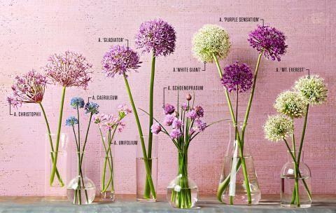 Your Guide To Alliums Allium Flowers Flower Garden Garden Drawing